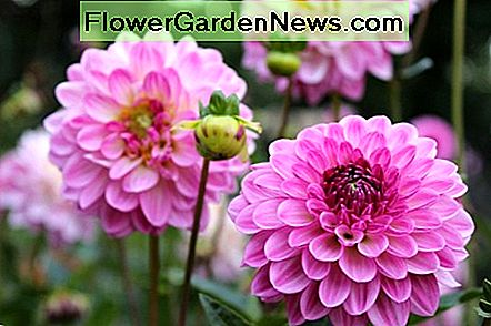 Dahlias should be planted in the spring after all danger of frost has passed