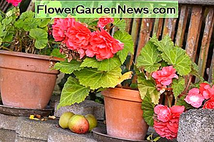 Begonias planted in the spring bloom during the summer