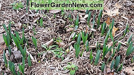 Daffodil bulbs sprouting
