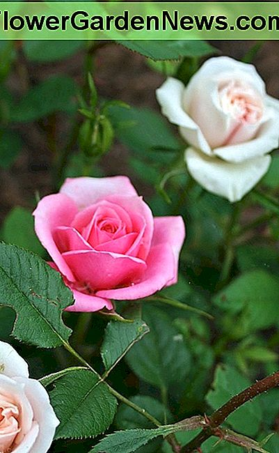 This miniature rose bush is a grafting of red, cream & pink roses. The red rarely blooms at the same time as the rest.