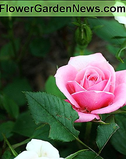 Miniature roses are just as prone to black spot as other types of rose bushes.