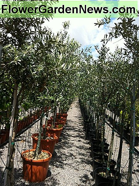 2-Year-Old Olive Trees at the Garden Center