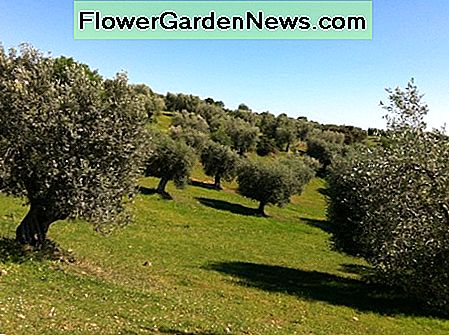 Olive Trees in a Secular Grove Planted Six Meters Apart