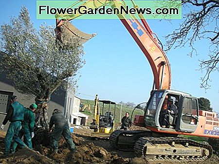 Albiatti Garden Center Team in Tuscany Planting a 100 Year Olive Tree