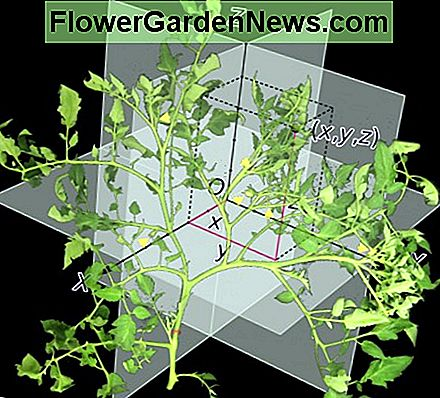 Picture of tomato plant branching in Euclidean space, derived by Robert Kernodle from various open source images.