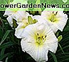 15 Bareroot Hemerocallis Joan Vyresnysis Daylily Tennessee Grown