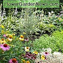 Make sure there is good soil and complete fertilizer for optimum growth. Many perennials are
