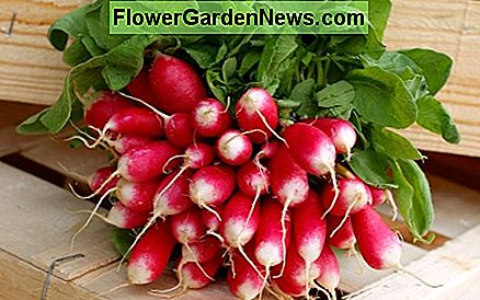 French Breakfast Radishes are a popular variety