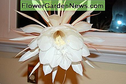 Hvordan man dyrker Night Blooming Cereus