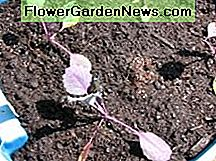 Red cabbage transplants