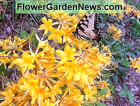 Native Azaleas av Louisiana i bilder