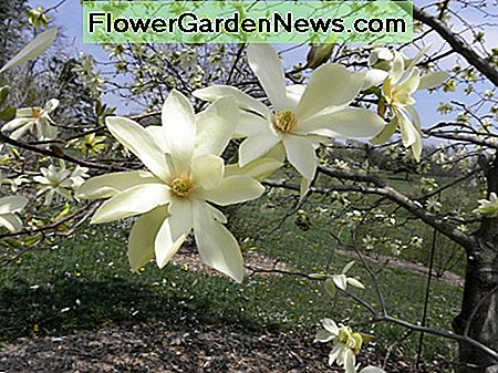 Magnolia Gold Star