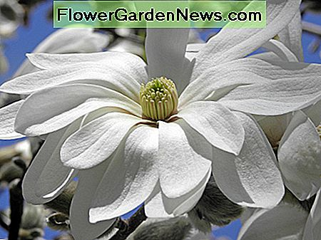Magnolia Stellata Waterlily Star