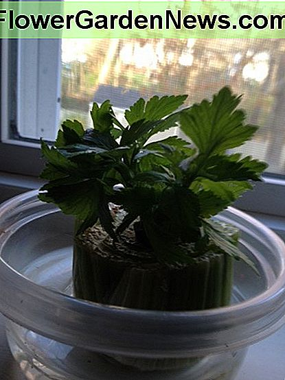 place the celery in a cup of water and wait for roots to grow, I refresh the water every few days.