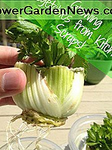 Easy Gardening: Grow Vegetable Plants fra Kitchen Scraps!