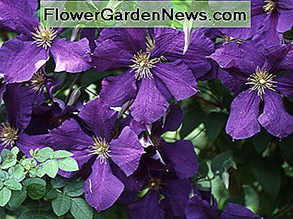 The Clematis Jackmanii is one of the most well-known varieties of clematis. It was originally raised by George Jackman & Son in 1858 and introduced to the buying public in 1863.