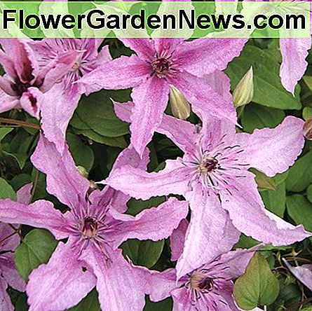 Clematis Hagley Hybrid has large, speckled, subtle shell-pink to mauve flowers that become lighter as they age. You can grow this clematis in the ground or in a container.