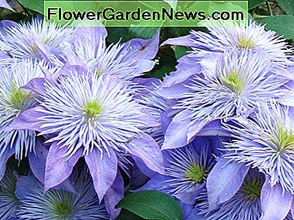 My very favorite species is the clematis crystal fountain with the fountain-like centers on huge semi-double lilac-blue flowers. This perennial is compact, so it is perfect in containers.