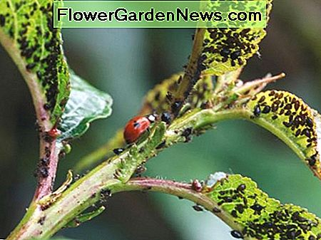 If you're going to turn ladybugs loose in your yard, be sure to plant sunflowers and marigolds to provide a home and a place to lay eggs.