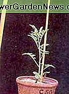 A plant suffering from nitrogen deficiency.