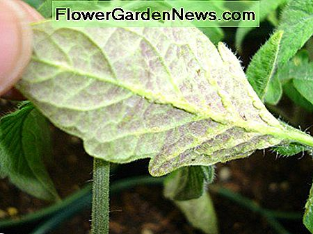 This lovely purple tint is a classic symptom of phosphorus deficiency in a tomato seedling.