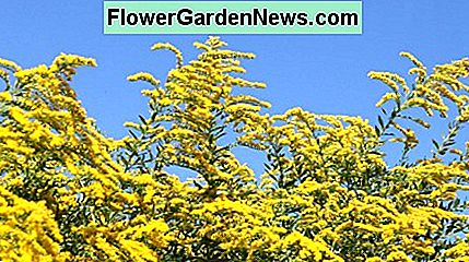 Berberis produce big flower displays