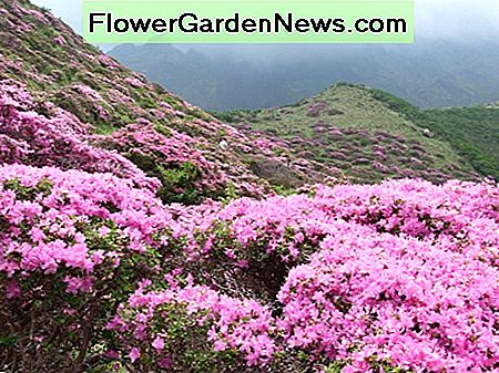 Rhododendron kiusianum growing in the mountains of Japan