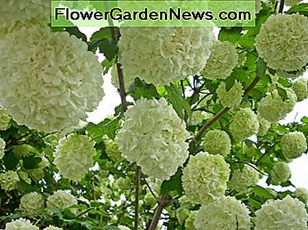 The Chinese Snowball Viburnum