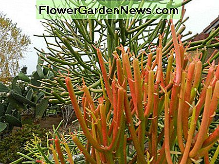 Add Color to the Succulent Garden With Fire Sticks