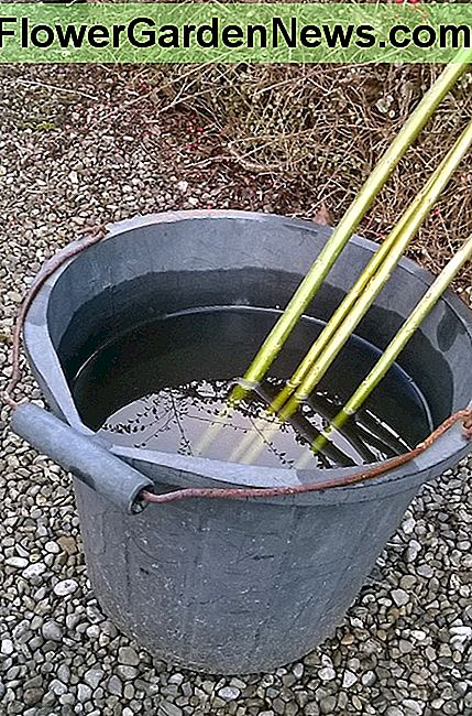 You can root willow in a bucket of water and plant once roots appear......