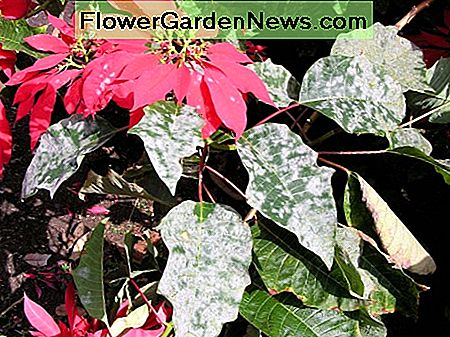 Powdery mildew on poinsettia plant.