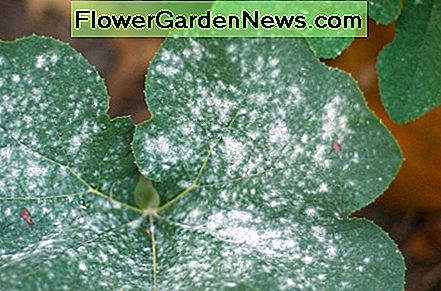 Powdery mildew on pumpkin leaves,