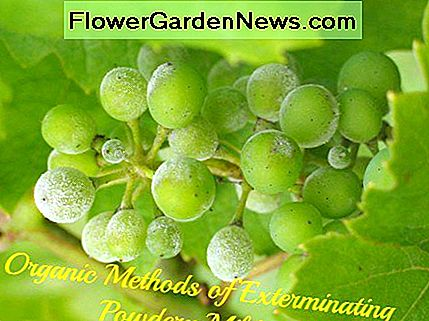 Powdery mildew on grapes.