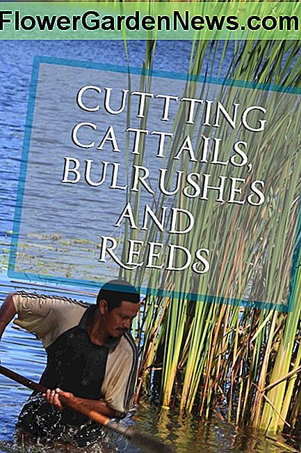 Cutting cattails, bulrushes, și stuf