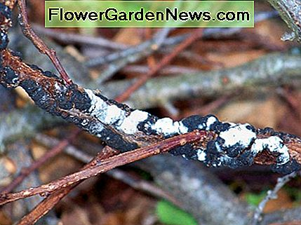 In the end, a white mold grows on this fungus and sadly your tree is disfigured and weakened.