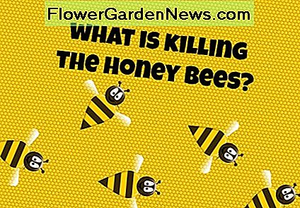 Wat is het doden van de honingbijen?  Colony Collapse Disorder