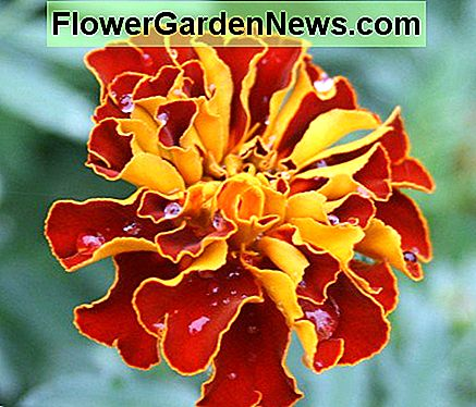 This photo of a French marigold is one of mine, but Flower Pedia contains thousands of gorgeous flower pics.