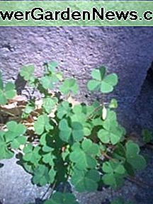 A lot of sour foods are high in vitamin C, including wood sorrel.