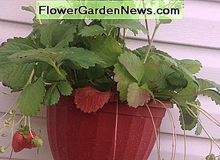 Strawberries are good for bees and other pollinators.