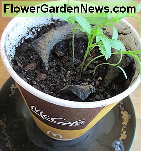 Seedlings can also be replanted into a pot or other container after sprouting.