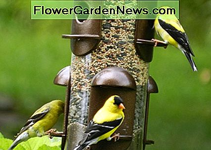 Flock of American Goldfinch