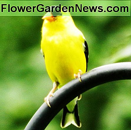 American Goldfinch males are bright-yellow summer visitors to your backyard.