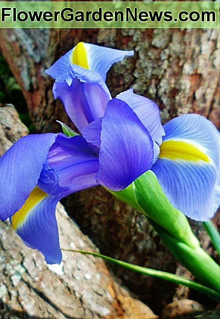 Iris held up against the bark of our redbud tree. I took some individual shots of the Iris in various poses to show off the beauty of the flowers.