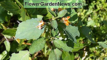 Another angle on the jewelweed.