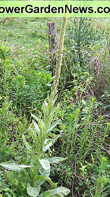 A closer view of the mullein growing near my house.