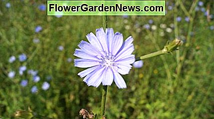 A chicory flower.