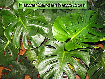 Easy Houseplant - Swiss Cheese Plant eller Monstera Deliciosa