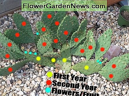Prickly pear cacti cuttings are quick to populate within two years.