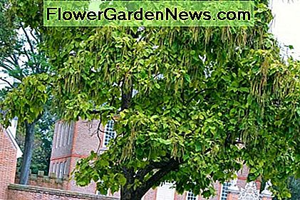 Catalpa Tree Facts, Uses og Planting Tips