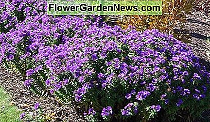 Purple Dome aster may be the best purple fall flower you will find, with a very extended bloom period.
